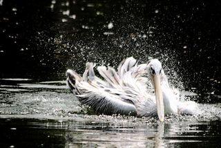 Pelican bath 2