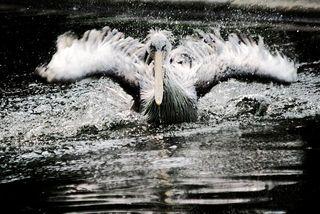 Pelican bath 1